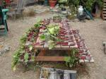 Beet harvest...left to dry and then stored in sand in the root cellar