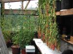 Quinoa drying in the earth sheltered greenhouse