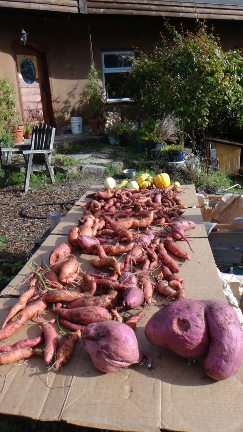 Bumper crop of SWEET POTATOES