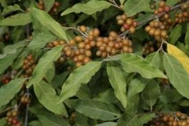 Elaeagnus_umbellata_AutumnOlive_fruits