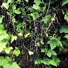 Ben - Black Currants