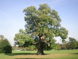 European chestnut - 60 ft