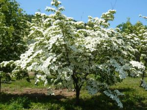 A small tree with a showy bloom