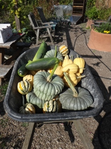 Three wheelbarrows of winter quash harvested this year.  Most from the roof.