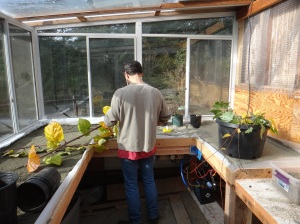 Gord in the new propagation greenhouse - heated by compost and the sun.