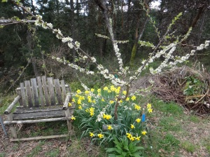 Burbank plum and daffodils.  Bulbs or onions/leeks work well around fruit trees.