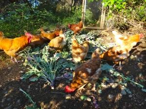 Chickens LOVE salad