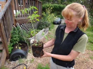 Ann showing tomato roots