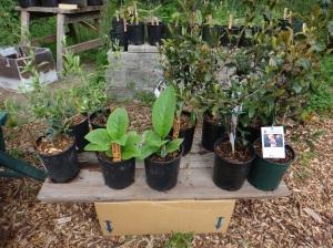 3 Olive trees, 2 bocking 14 Comfrey, 5 tea plants