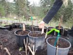 Nodding Onion Seeds on grafted plants
