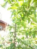 Plums have set fruit