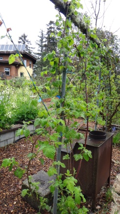 Established trellis with thornless blackberries and Logan berries