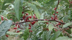 Autumn Olive - edible berries and nitrogen fixing
